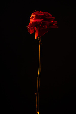 Red rose in thorns on a dark background