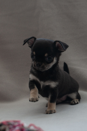 Cute little puppy is played on a gray background 写真素材