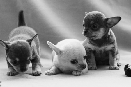 Little puppy on a gray background. Stock Photo