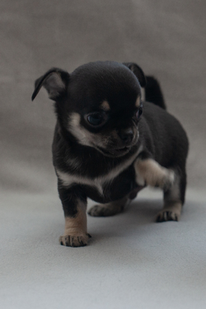 Little puppy on a gray background. 写真素材