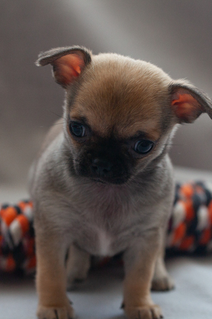 Cute little puppy is played on a gray background Stock Photo