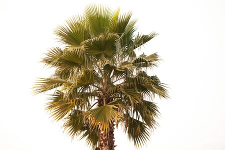 Photo of a green palm tree on a white background. Stock Photo