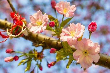 Beautiful soft-focus cherry blossom sakura in spring time over blue sky. Stock Photo