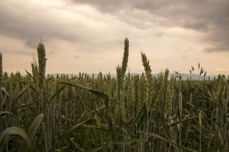 Green Wheat Field Summer Wind Nature closeup