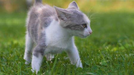 Little kitten walking on the green grass in summer. Kittens outdoor. Banco de Imagens