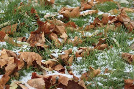Dry leaves on the snowbound green grass in garden.