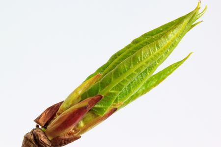 Jóvenes hojas verdes de álamo. Aislado en el fondo blanco. Foto de archivo