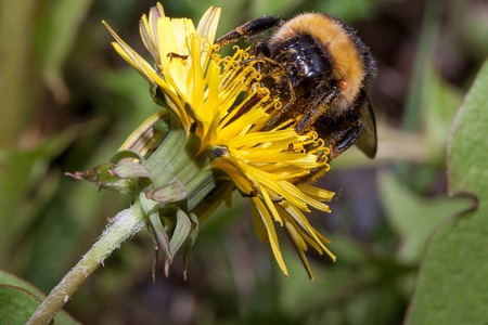 Bumblebee gathers nectar from a dandelion flower.