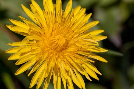 Young dandelion flower on a green meadow. Beauty in nature. Stock Photo