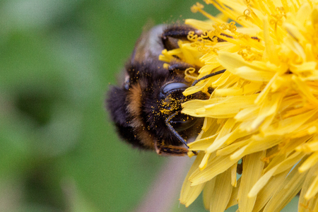 Bumblebee sits on a dandelion flower. Beauty in nature. Stock Photo