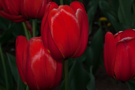 Group of red tulips on a green meadow. Beautiful in nature.