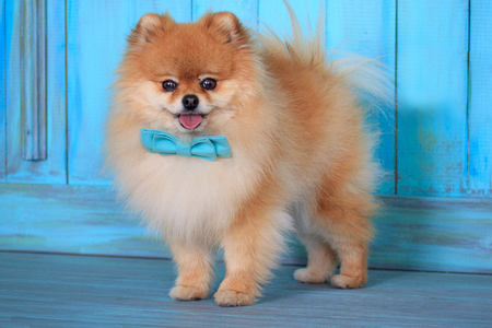 Beautiful pomeranian puppy stands near the door in a blue bow tie. Pet animals.