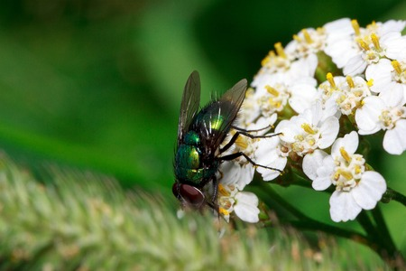 Housefly sits on a beautiful white yarrow. Sunny summer day.