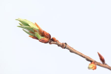 Junge grüne Niederlassung der Pappel isIsolated auf weißem Hintergrund. Frühling blüht Standard-Bild - 84109740