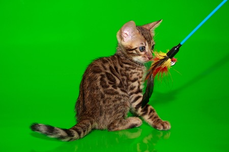 Small bengal kitten is looking at the toy. Pet animals