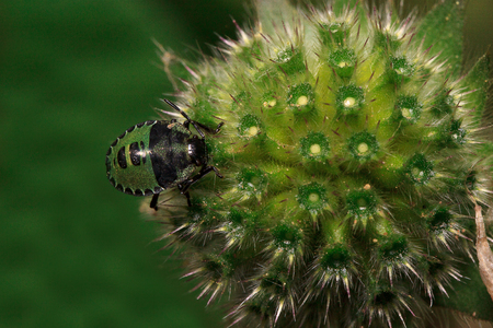 Shield bug are sitting on a flower of pincushion. Animals in wildlife.