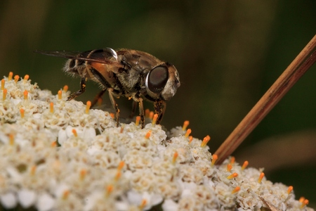 Hoverfly is sittiing on a yarrow flower. Wild animals.