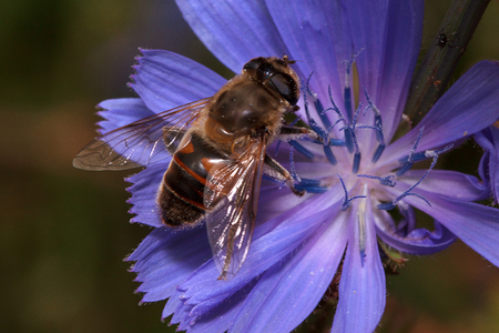 pestil: Hoverfly is sittiing on a purple flower. Wild animals. Stock Photo