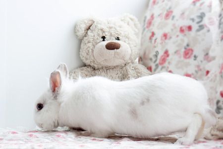 Beautiful white rabbit is sniffing a teddy bear. Pet animals. Stock Photo