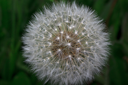 Fluffy dandelion is growing on a green meadow. Beauty in nature. Stock Photo