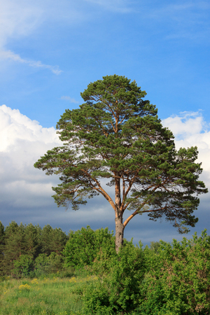 the firmament: Single pine growing at the edge of the forest.