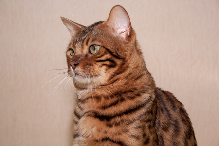 Portrait of a bengal cat with big green eyes.