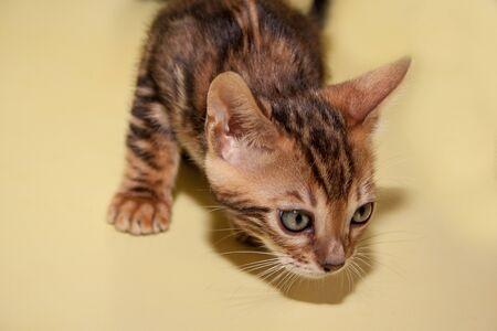 Curious little bengali kitten with big eyes. Pet animals Stock Photo
