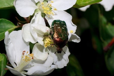 Rose chafer is sitting on a flowering apple tree. Pest of plants. Stock Photo