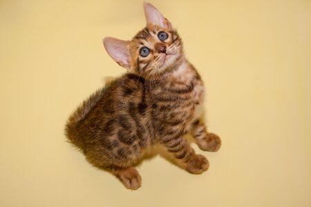 Curious bengali kitten with big eyes. Pet animals