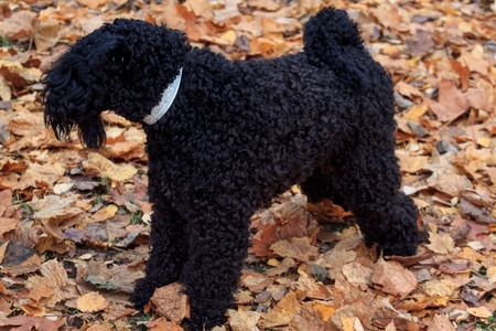 kerry blue terrier: Kerry blue terrier is standing in the autumn foliage.