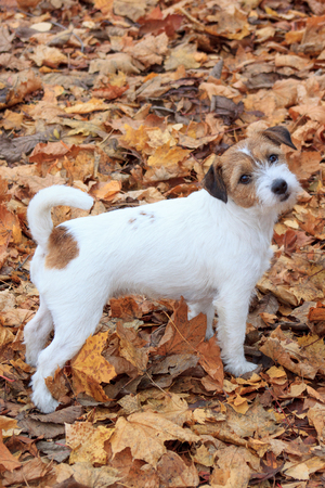 Curious jack russell terrier is standing in the autumn foliage. Pet animals.