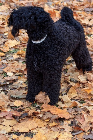 kerry blue terrier: Irish blue terrier is standing in the autumn foliage. Pet animals.