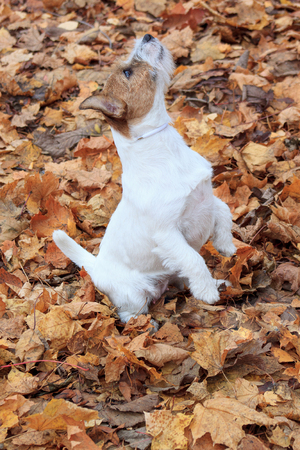 Jack russell terrier is standing on hind paws in autumn foliage. Pet animals. Stock Photo