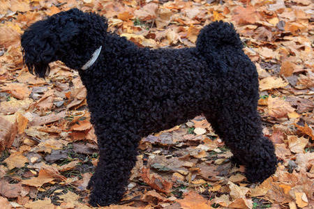 kerry blue terrier: Kerry blue terrier is standing in the autumn foliage in the park. Pet animals.