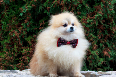 Beautiful pomeranian puppy is standing in a bow tie. Pet animals