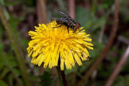 Housefly is sitting on a beautiful dandelion flower. Animals in wildlife.
