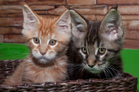 Two maine coon kittens are sitting in a wicker basket. Two month old.