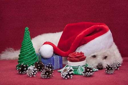 Cute bichon frise in santa claus hat. Symbol of the New Year.