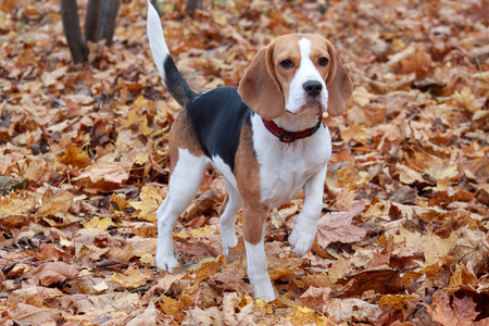 Young beagle is standing on the autumn foliage.