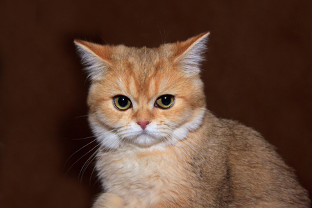 British shorthair kitten isolated on a brown background. Banco de Imagens