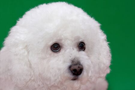 Cute bichon frise isolated oa green background. Pet animals.