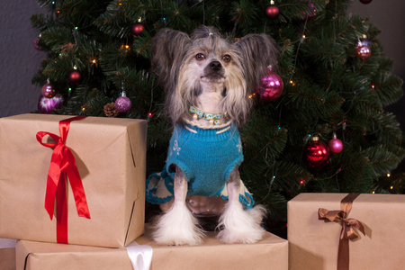 Cute chinese crested dog is sitting near the christmas tree. Pet animals.