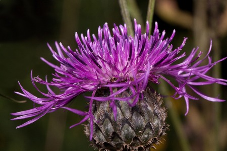 Beautiful thistle flower is blooming on a green meadow. Live nature. Summer morning.