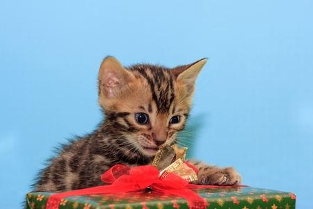 Beautiful bengal kitten is revealing his New Years gif. Pet animals. Traditional holidays.