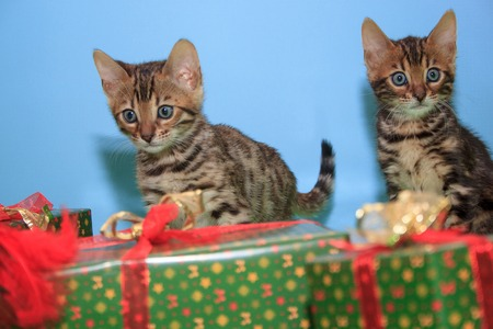 Two cute bengal kittens is sitting near the New Years gifts. Traditional holidays. Pet animals. Stock Photo