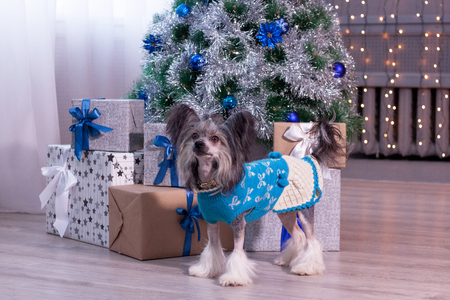 Cute chinese crested dog is standing near the christmas tree with gifts. Pet animals.