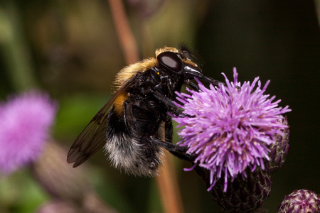 Bee is gathering nectar from a thistle flower. Animals in wildlife. Summer morning. Фото со стока