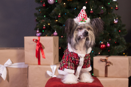 Cute chinese crested dog is sitting near the new years gifts. Pet animals.Traditional holidays.