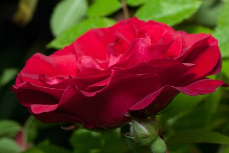 Beautiful rose is growing on a green meadow. Live nature. Summer morning.