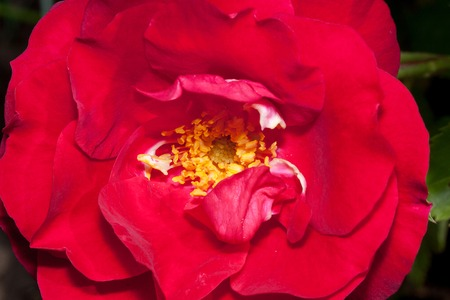 Beautiful rose is growing on a green meadow. Close up. Live nature. Stock Photo